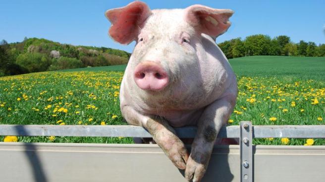 historia-de-los-cerdos